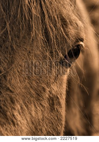 Eye Of The Arabian Horse
