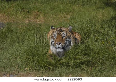 Bengal Tiger In The Grass 1