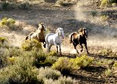 pic of wild horse running  - Three horse Running Wild through a blooming desert kicking up dust - JPG