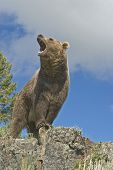 picture of grizzly bear  - Grizzly bear growling on ridge line - JPG