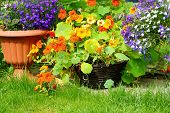 picture of lobelia  - Blooming nasturtium and lobelia flowers in the garden - JPG