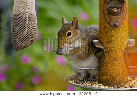 Sneaky squirrel stealing seed at the birdfeeder in a backyard setting
