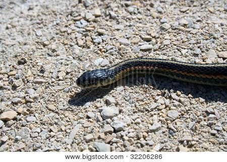 Red Sided Garter Snake slithering across a path