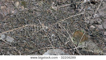 Red Sided Garter Snake Den in Narcisse Manitoba Canada