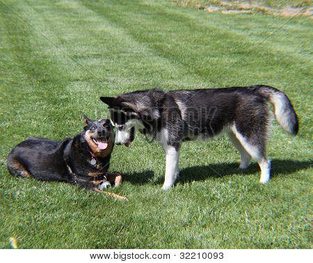 Husky and Blue Heeler Playing
