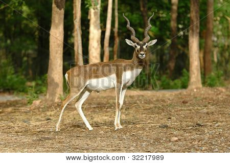 mail black buck in chiang mai night safari