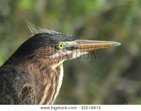 Green Heron Close-up portrait
