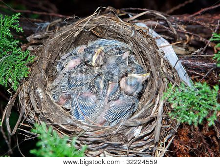 Very Young Baby Robins.