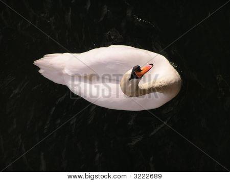 Swan Looking Up