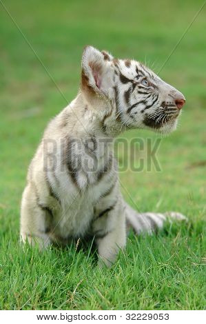 baby white tiger in chiang mai night safari