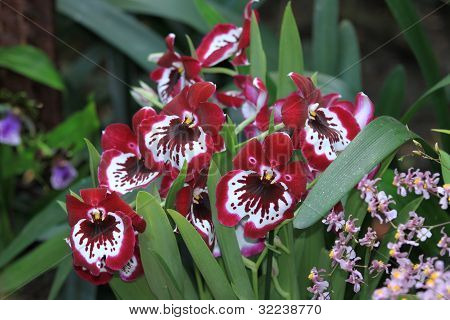 Miltonia Orchid Flower