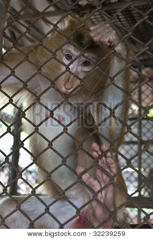 Monkeys kept in cages
