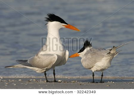 Royal Terns Courtship
