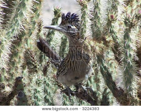 Roadrunner In Cholla Cactus