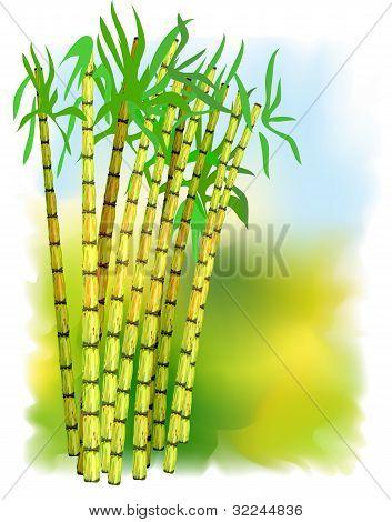 Plant Of Sugar Cane.