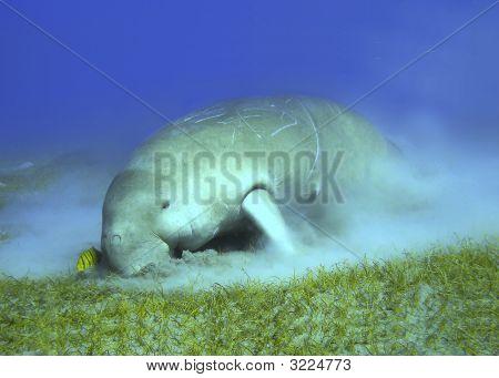 Dugong Feeding