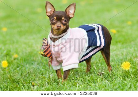 Funny Little Dog Outside