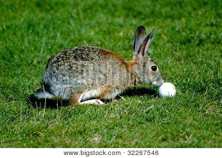 Rabbit with golf ball