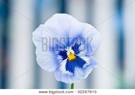 Beautiful single blue viola