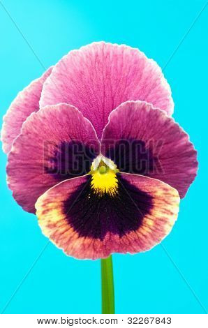 Single colorful viola on turquoise-blue background