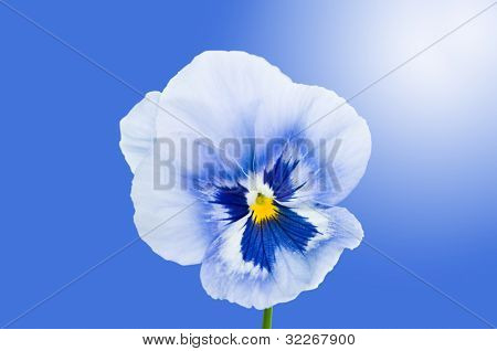 Close up on beautiful blue viola with shiny light and blue background