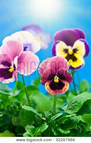 Colorful Viola flowers on blue sunny background