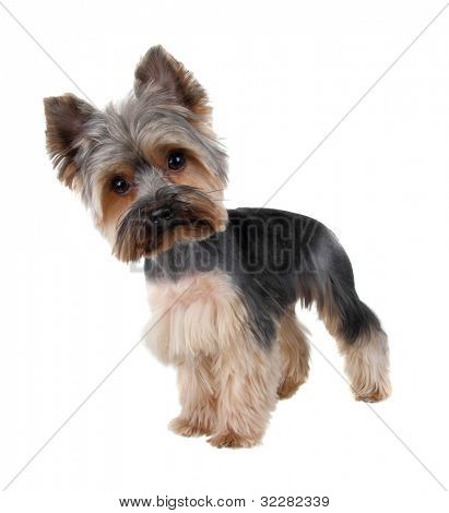 Yorkshire Terrier in front over white  ( after cutting hair)