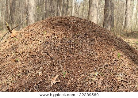Anthill In Spring Wood Close-up