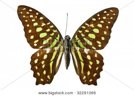 Tailed Jay (Agamemnon) butterfly isolated on white background