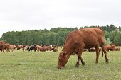 Cows Volyn Meat, Limousine, Abordin.rural Composition. Cows Grazing In The Meadow. A Series Of Photo poster