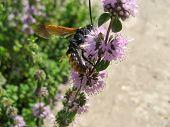 Pennyroyal  Mentha Pulegium A Wild Bee. A Bee Sits On Purple  Mentha Pulegium Flower At Sunny Summer poster