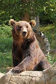 The Kamchatka Brown Bear (ursus Arctos Beringianus) Female Living In Captivity poster