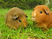 stock photo of guinea pig  - two guinea pigs eatting some grass - JPG