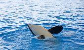 foto of orca  - Orca whale Orcinus orca Show Loro Parque Tenerife Canarian islands - JPG