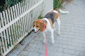 Popular Popular Beagle Pet Dog Stands Tied On A Leash poster