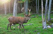 Red Deer Stag In Rutting Season. Buck At Maturity Age In The Period Of Crossing With The Female. Por poster