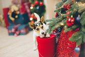 Funny Curious Active Jack Russell Terrier Pet Animal Standing With Paws On Christmas Red Box Of Gift poster