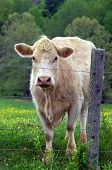 picture of charolais  - Cow stands behind barbed wire fence looking out - JPG