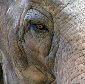 An Elephants Eye