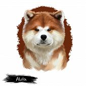 Akita Breed Digital Art Illustration Isolated On White. Cute Domestic Purebred Animal. Large Breed O poster