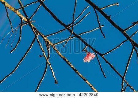 Wild Himalayan Cherry (prunus Cerasoides) Flower
