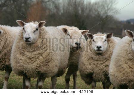 Sheep Mates