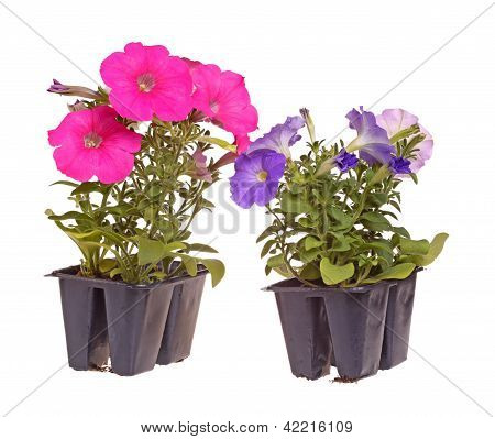 Two Packs Of Pink- And Blue-flowered Petunia Seedlings Ready For Transplanting