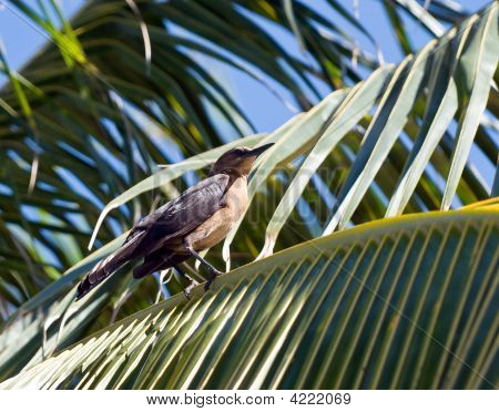 Adult American Robin (Turdus Migratorius) Sitting In A Palm Tree