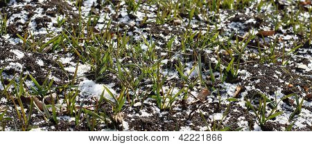 Wheat on the snow-bound field