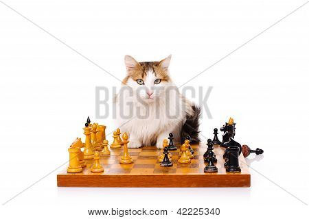 Longhaired Housecat Plays Chess