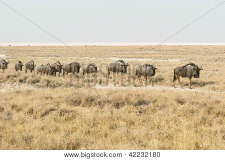 Migrating blue wildebeests