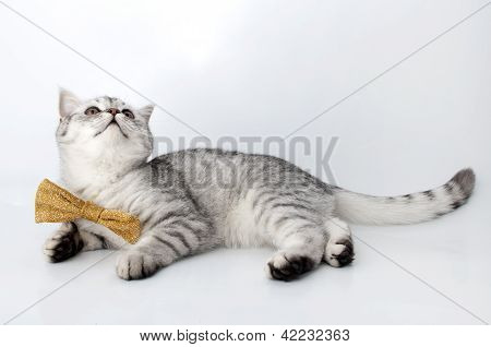 .silver Tabby Scottish Cat With Golden Bow Tie