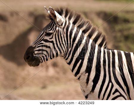 Zebra On Lookout