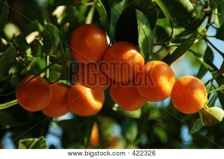 Calamondin Citrus Oranges